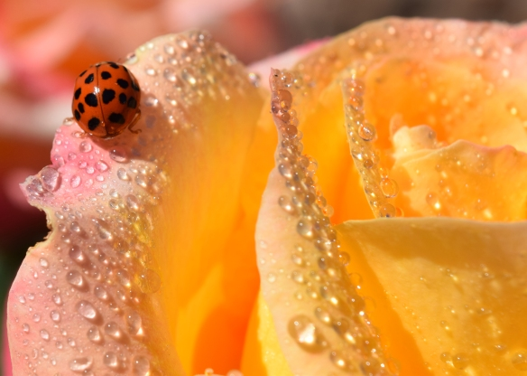 Ladybug Droplets