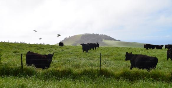 Kohala Cows